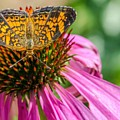 Butterfly On Echinacea  by Matt McClintock