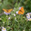 Butterfly On Fleabane #2 by Meagan Watson