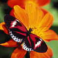 Butterfly On Flower by Natural Selection Ralph Curtin