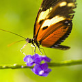 Butterfly On Flower by Tomas del Amo - Printscapes