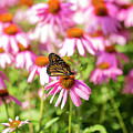 Butterfly On Flowers by David Stasiak
