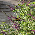 Butterfly On Flowers by Rebecca Pavelka