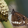 Butterfly On Grass Tree Flowers by Sher Stoll