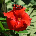 Butterfly On Hibiscus by Richard Bryce and Family