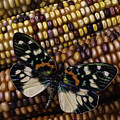 Butterfly On Indian Corn by Garry Gay