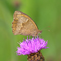 Butterfly On Knapweed by Genevieve Vallee