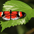 Butterfly On Large Leaf by Max Allen