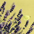 Butterfly On Lavender Flowers by Mike Santis