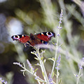 Butterfly On Lavender by Mirinda Kossoff