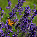 Butterfly On Lavender by Shawn Einerson