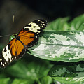 Butterfly On Leaf by Steve Somerville