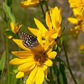 Butterfly On Mule's Ear by Ron Glaser