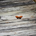 Butterfly On The Dock by Richard Greiner