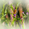 Butterfly On Thistle Bloom @h7 by Leif Sohlman