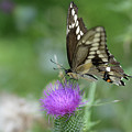 Butterfly On Thistle Flower by Barbara Treaster