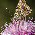 Butterfly On Thistle by Jean Noren