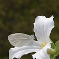 Butterfly On Trillium  by Harold Stinnette