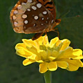 Butterfly On Yellow by Kim Henderson