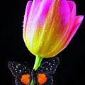 Butterfly On Yellow Pink Tulip by Garry Gay