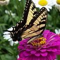 Butterfly On Zennia by Ellen B Pate