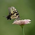 Butterfly On Zinnia by Wanda Krack