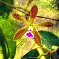Butterfly Orchid - Encyclia Tampensis by Rich Leighton