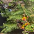 Butterfly Pas De Deux by Allen Sheffield