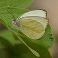Butterfly Profile by Robert Coffey