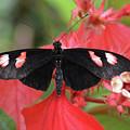 Butterfly Blush by Jann Denlinger