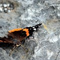 Butterfly Resting by Charles J Pfohl
