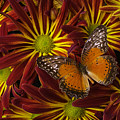 Butterfly Resting On Chrysanthemums by Garry Gay