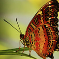 Butterfly by Roger And Michele Hodgson