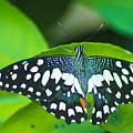 Butterfly  by Sainuddeen Alanthi