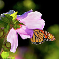 Butterfly Sunset by Betty LaRue