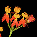 Butterfly Weed by Diane Macdonald