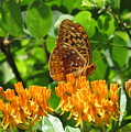 Butterfly Weed Fritillary by Joshua Bales