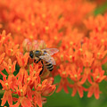 Butterfly Weed Heaven by Rachel Cohen