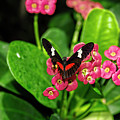 Mexican Longwing Butterfly by Kay Brewer
