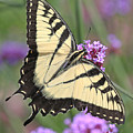 Butterfly Wings by Mike Dickie