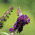 Butterfly With Flowers by Cynthia Guinn