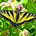 Butterfly Yellow by Danielle Sigmon