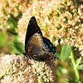 Butterfly1 by Vijay Sharon Govender