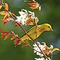 Buttery Yellow Warbler by Debbie Oppermann
