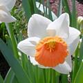 Button Daffodil by Maro Kentros