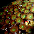 Button Polyps by Anthony Jones