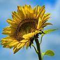 Buttonwood Sunflower 2 by Edward Sobuta