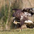Buzzard Feeding by Bob Kemp