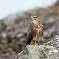 Buzzard On Rocks by Peter Walkden