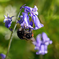 Buzzy Bee On Bluebells by Susie Peek
