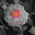 Bw Pink Rose by Southernsweety